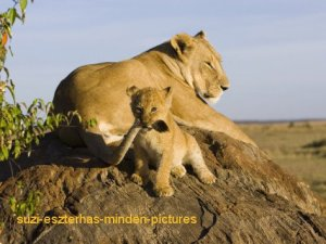 cub-playing-with-its-mother-s-tail