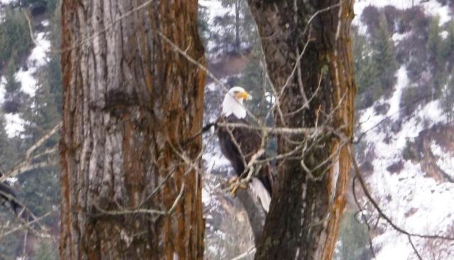 Lone Bald Eagle