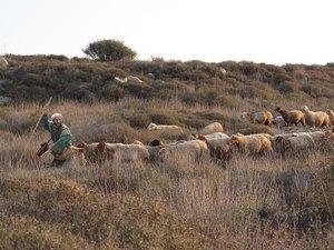 018-shepherds-sheep